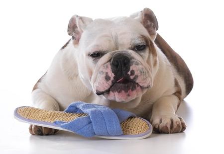 Bulldog Chewing on Slipper