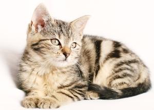 Brown Color Cat