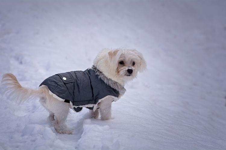 Dog in Snow Wearing Warm Vest